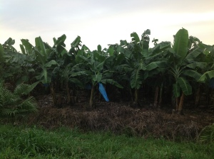 We passed several banana trees on our drive.