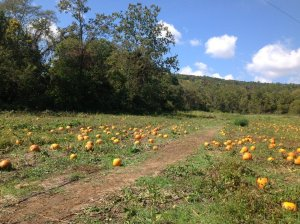 Pumpkin field.