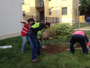 Digging a mighty big hole for a magnolia tree!