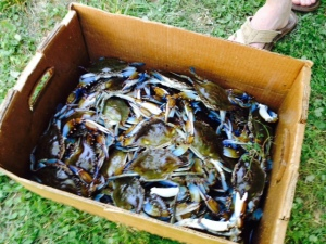 These gorgeous blue crabs are about to be boiled!
